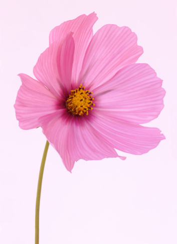 Cosmos Flower「Cosmos flower in soft shades of pink.」:スマホ壁紙(5)