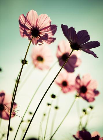 パステル「コスモスの花」:スマホ壁紙(12)