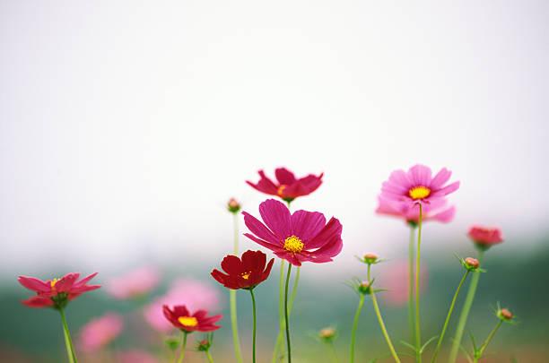 コスモスの花:スマホ壁紙(壁紙.com)