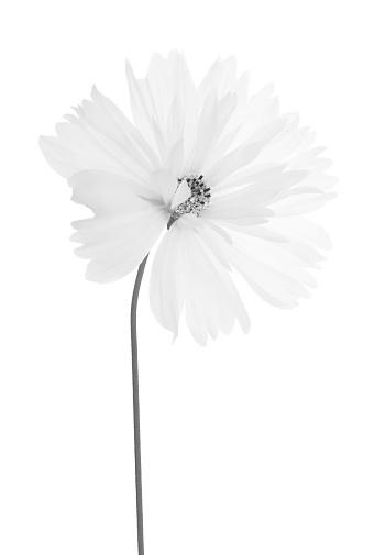 Stamen「Cosmos flower with stem in black & white on white.」:スマホ壁紙(12)