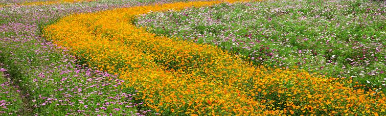 コスモス「Cosmos flowers in sweeping planting & in mass」:スマホ壁紙(0)