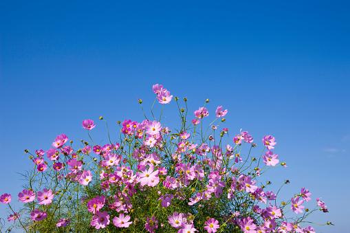 コスモス「Cosmos flowers」:スマホ壁紙(2)