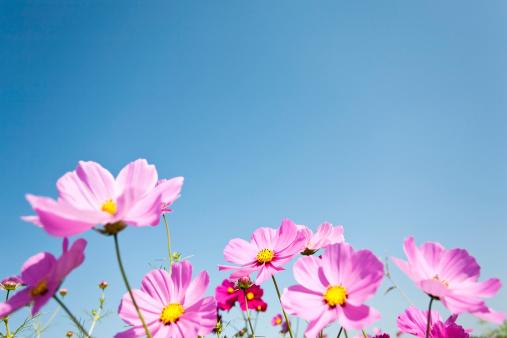 コスモス「コスモスの花」:スマホ壁紙(9)