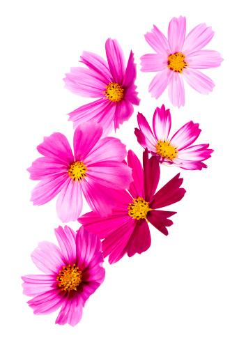 コスモス「コスモスの花」:スマホ壁紙(5)