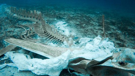 クジラ「珍しいクジラの骨格を水中」:スマホ壁紙(19)