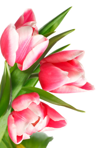 Clean「holiday tulips bouquet isolated on white」:スマホ壁紙(12)