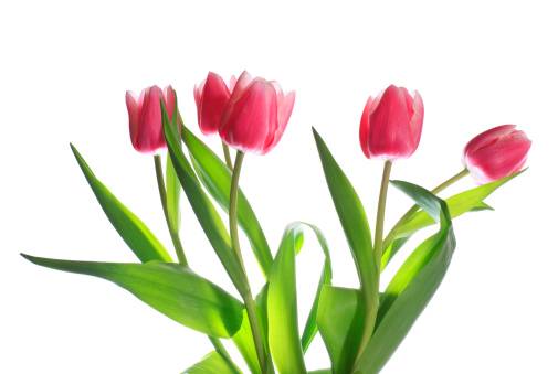 Clean「holiday tulips bouquet isolated on white」:スマホ壁紙(10)