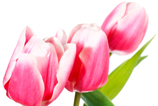Clean「holiday tulips bouquet isolated on white」:スマホ壁紙(11)