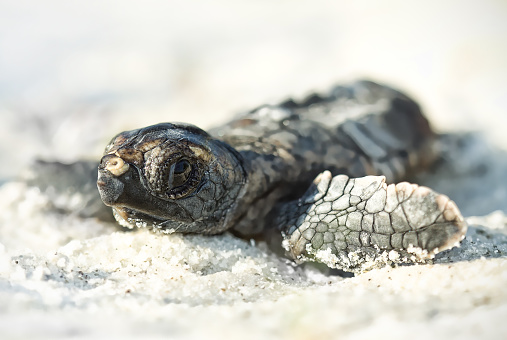 Sea Turtle「Hatchling loggerhead turtle (Caretta caretta) on beach, Florida, America, USA」:スマホ壁紙(13)