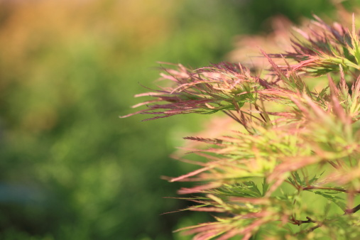 Japanese Maple「Acer japonicum in the garden」:スマホ壁紙(0)