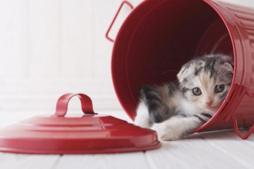 Kitten「Scottish fold in a bucket」:スマホ壁紙(10)