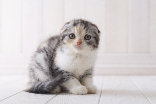 Kitten「Scottish fold sitting」:スマホ壁紙(6)