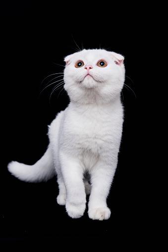 ショートヘア種の猫「Scottish Fold shorthair cat on black background」:スマホ壁紙(3)