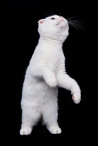 ショートヘア種の猫「Scottish Fold shorthair cat on black background」:スマホ壁紙(5)