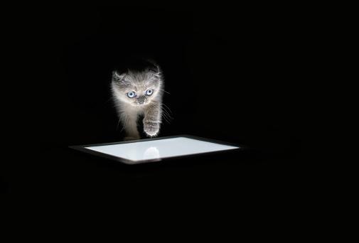 Kitten「Scottish Fold kitten」:スマホ壁紙(15)