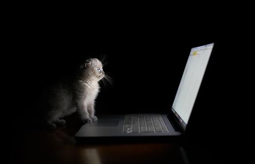 Scottish Fold Cat「Scottish Fold kitten」:スマホ壁紙(18)