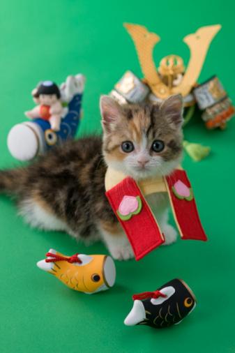 こどもの日「Scottish Fold Kitten and Children's Day Celebration」:スマホ壁紙(16)