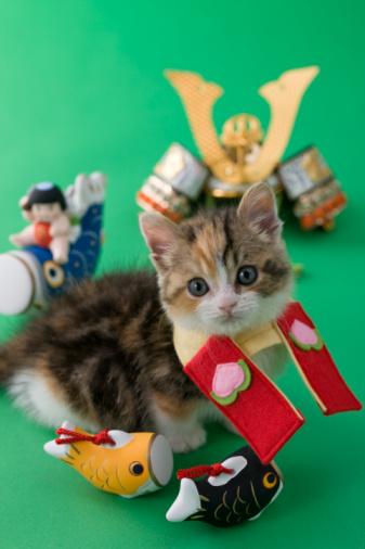 こどもの日「Scottish Fold Kitten and Children's Day Celebration」:スマホ壁紙(14)