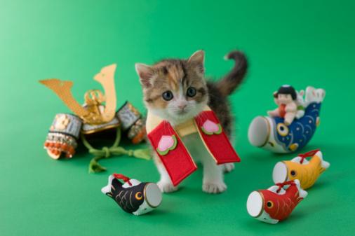 こどもの日「Scottish Fold Kitten and Children's Day Celebration」:スマホ壁紙(4)
