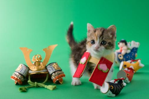 こどもの日「Scottish Fold Kitten and Children's Day Celebration」:スマホ壁紙(13)