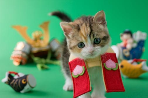 こどもの日「Scottish Fold Kitten and Children's Day Celebration」:スマホ壁紙(7)