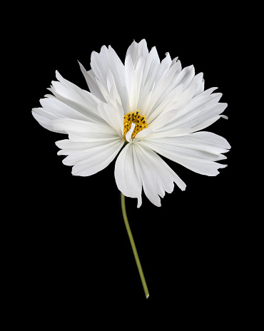 Girly「Pure white cosmos flower with stem in close-up on black.」:スマホ壁紙(17)