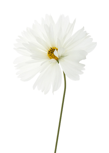 Daisy Family「Pure white cosmos flower with stem in close-up on white.」:スマホ壁紙(13)