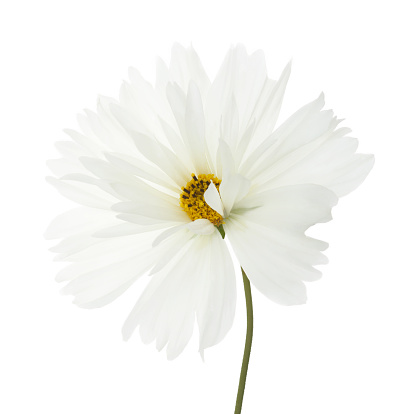 Blossom「Pure white cosmos flower with stem in white square.」:スマホ壁紙(9)