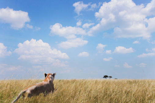 Three Quarter Length「Lion in grass, rear view」:スマホ壁紙(16)