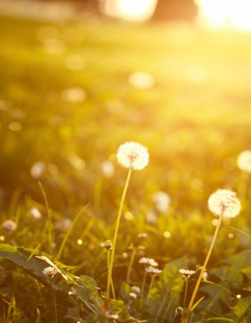 たんぽぽ「明るい色の夏のタンポポ」:スマホ壁紙(9)