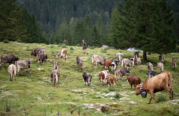 Pasture「Annual End Of Summer Cattle Drive In Bavarian Alps」:写真・画像(0)[壁紙.com]