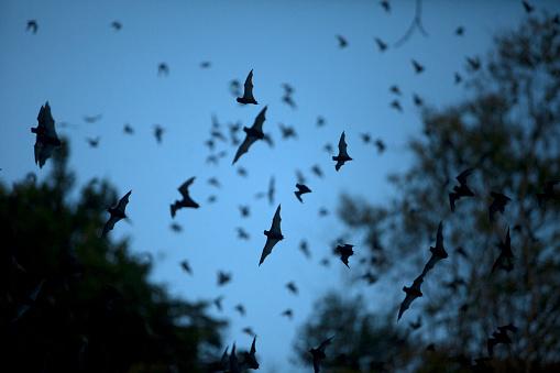bat「Bats leave a cave in Calakmul Biosphere Reserve, Campeche state, Yucatan Peninsula, Mexico」:スマホ壁紙(12)