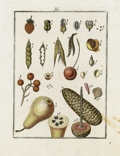 Seed「Various Tree Seeds. From Die Welt In Bildern. Band 3. Baumeister. Vienna. 1790.」:写真・画像(8)[壁紙.com]