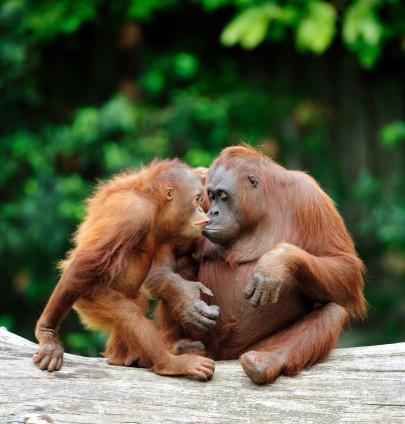 Kissing「orangutans in love」:スマホ壁紙(14)