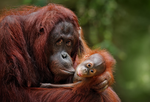 Baby animal「orangutans」:スマホ壁紙(2)