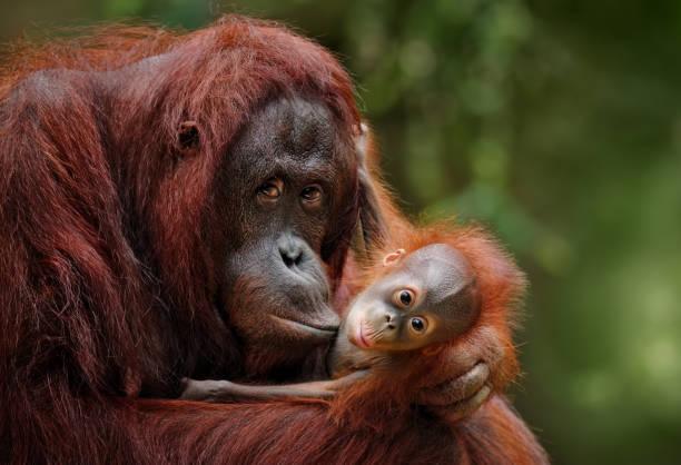 orangutans:スマホ壁紙(壁紙.com)