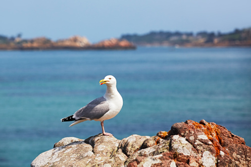 Herring Gull「France, Bretagne, Ploubazlanec, European Herring Gull (Larus argentatus) on rock」:スマホ壁紙(9)