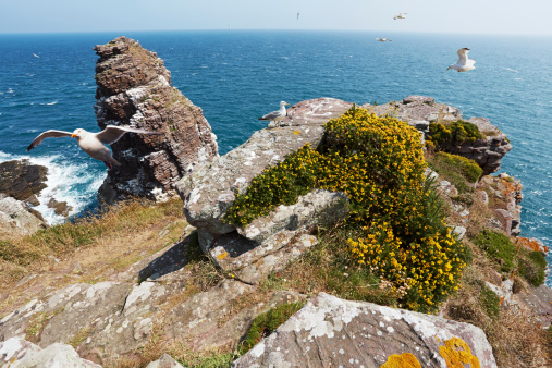 Herring Gull「France, Bretagne, Cap Frehel, European Herring Gulls (Larus argentatus) at La Fauconniere」:スマホ壁紙(14)