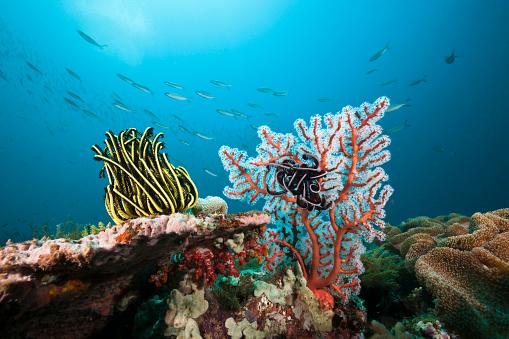 Arafura Sea「Featherstar in Coral Reef, Indonesia」:スマホ壁紙(0)