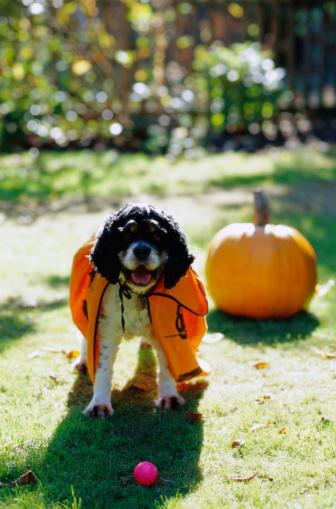 ハロウィン「Dog in a Pumpkin Costume」:スマホ壁紙(9)