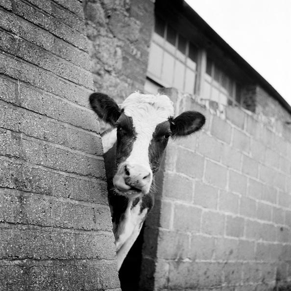 動物「Cow Peering Around The Corner Of A Brick Buttress On A Farm On The Isle Of Wight」:写真・画像(7)[壁紙.com]