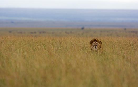 Staring「Lion in the grass」:スマホ壁紙(6)