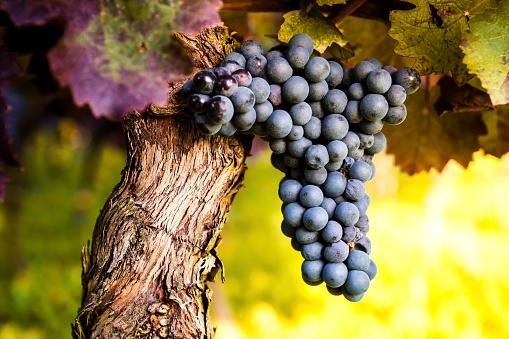 Grape「Red grapes hanging from vine」:スマホ壁紙(12)