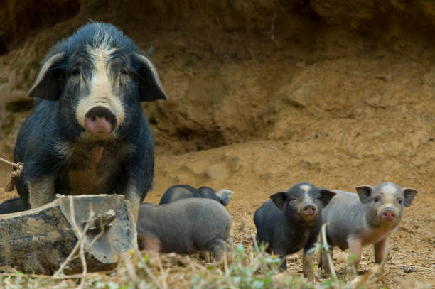 Cute Vietnamese Pot Bellied Pig With Piglets:スマホ壁紙(壁紙.com)