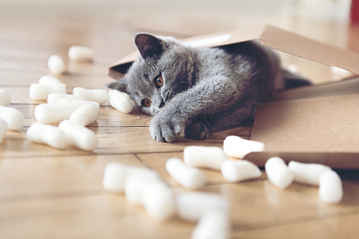 Shorthair Cat「Kitten playing with packing peanuts」:スマホ壁紙(4)