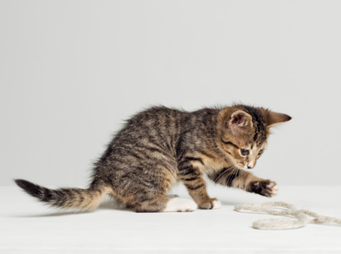 Domestic Animals「Kitten playing with string, side view, studio shot」:スマホ壁紙(18)