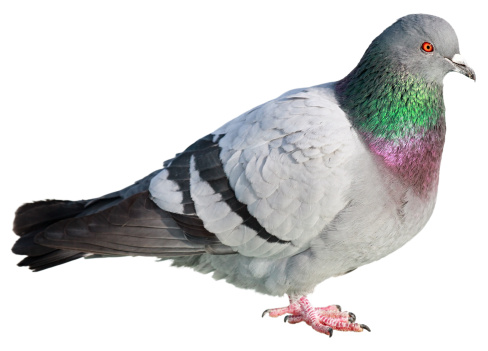 Pigeon「Pigeon isolated on white background」:スマホ壁紙(9)