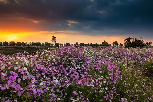 コスモス「Pink and White Cosmos (Bidens formosa) Wildflower Landscape at Sunset, Magaliesburg, Gauteng Province, South Africa」:スマホ壁紙(8)