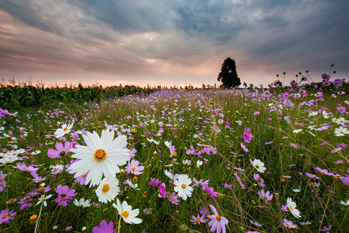 コスモス「Pink and White Cosmos (Bidens formosa) Wildflower Landscape at Sunset, Magaliesburg, Gauteng Province, South Africa」:スマホ壁紙(7)