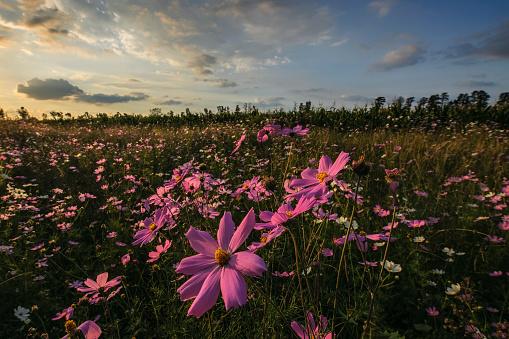 コスモス「Pink and White Cosmos (Bidens formosa) Wildflowers Landscape at Sunset, Magaliesburg, Gauteng Province, South Africa」:スマホ壁紙(4)